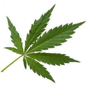 hanf, cannabis,
