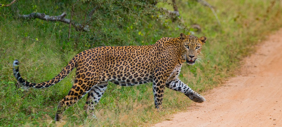 Leopard walking on the road. Sri Lanka. An excellent illustration.